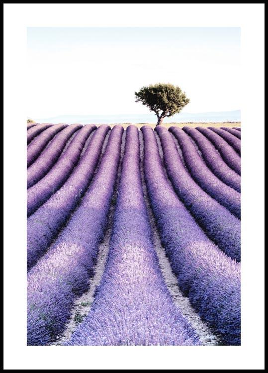 Lavender field tree Póster